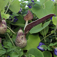 Aristolochia Ringens 10 Seeds, Gaping Dutchman's Pipe Vine