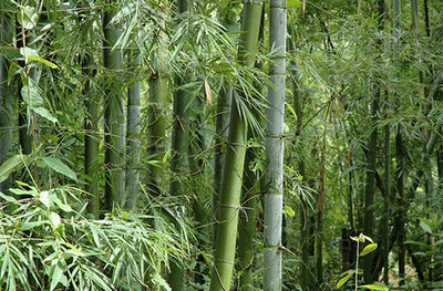 Bambusa bambos 15-1000 Seeds, Giant Indian Thorny Bamboo