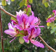 Bauhinia Purpurea 10/100 Seeds, Pink/Purple Orchid Flowering Tree