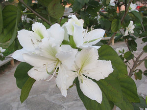Bauhinia Alba 7 Seeds, Fragrant Flowering White Orchid Tree