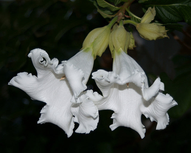 Beaumontia Grandiflora Vine 10 Seeds, Fragrant Easter Lily