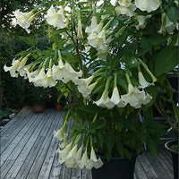 Brugmansia Suaveolens White 10 Seeds, Angel Trumpet Shrub, Small Tree