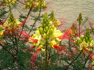 Caesalpinia Gilliesii 10/100/500 Seeds, Dwarf Shrub Tree, Yellow Bird of Paradise