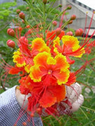 Caesalpinia Pulcherrima Seeds Flowering Shrub / Tree, Bird of Paradise, Poinciana, Pride of Barbados