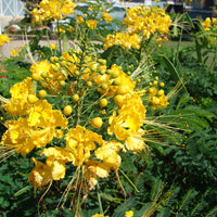 Caesalpinia Pulcherrima Yellow 7 Seeds, Small Shrub or Tree