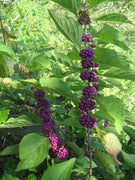Callicarpa Dichotoma 40/200/400 Seeds, Hardy Ornamental Purple Beauty Berry Shrub
