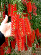 Callistemon Viminalis 500-10,000 Seeds, Weeping Bottle Brush Tree
