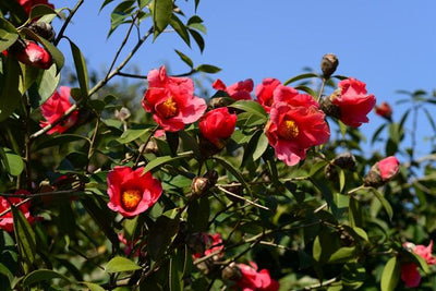 Camellia Chekiangoleosa 2 Large Seeds, Flowering Shrub Or Small Tree