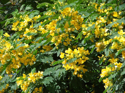 Cassia Glauca 20/100/500 Seeds, Scrambled Egg Shrub Tree Bush Senna Surattensis