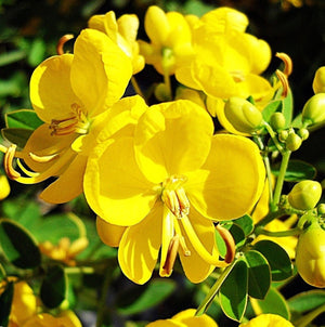 Cassia Tora 20/500 Seeds, Senna Tora A Wide Range Of Diverse Uses, Edible Herb Shrub