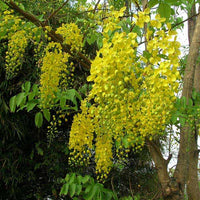 Cassia Fistula Tree 20/100/500 Seeds, Fragrant Golden Shower
