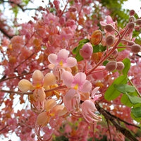 Cassia Grandis 15/25/100 seeds, Tropical Coral Shower Flowering Tree
