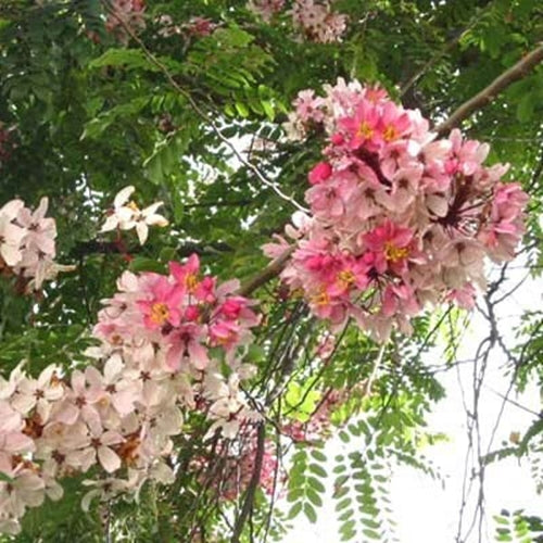 Cassia Javanica 20-500 Seeds, Pink and White Shower Flowering Tree