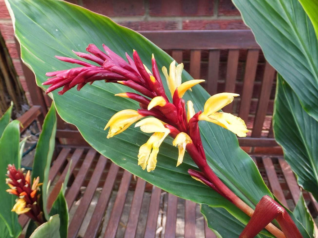 Cautleya Spicata 10 Seeds, Hardy Himalayan Ginger, Chinese Butterfly Ornamental Plant, Container Gardening