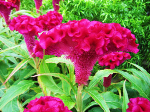 Celosia Cristata Pink, Crested Cockscomb Seeds, Edible Flowering Heirloom Plant