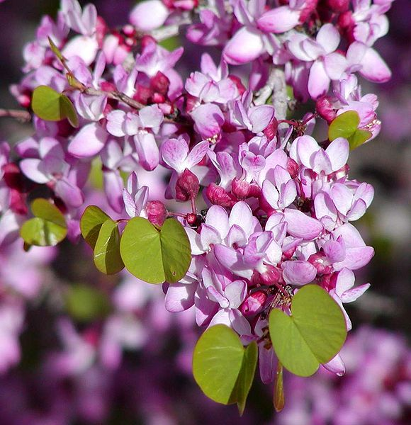 Cercis Occidentalis 25 Seeds, Western Redbud Cold Hardy Shrub Or Tree