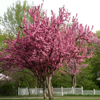 Cercis Canadensis Flowering Tree, 20/60/200 Seeds Eastern Redbud Cold Hardy