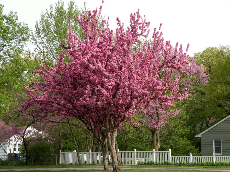 Cercis Canadensis Flowering Tree 20 60 200 Seeds Eastern Redbud Cold The Plant Attraction