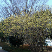 Chimonanthus Praecox Shrub 10/50/200 Seeds, Fragrant Wintersweet