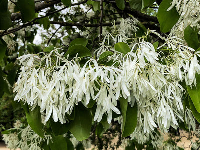 Chionanthus Retusus 10 Seeds, Flowering Chinese Fringe Tree, Bonsai