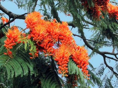Colvillea Racemosa Tree 8 Seeds, Rich Orange Colville's Glory Madagascar