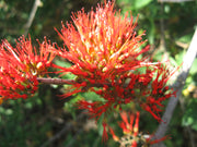 Combretum Microphyllum 5 Seeds, Flame Creeper Shrub, Burning Garden Bush