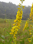 Crotalaria Pallida 50/500 Seeds, Smooth Rattlebox, Rattlepod Perennial Garden Herb, Wildflowers