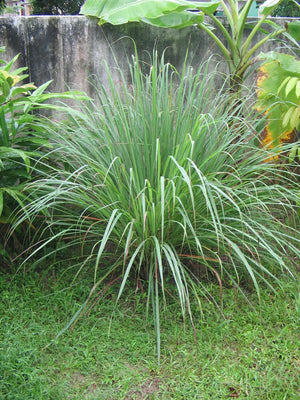 Cymbopogon Citratus Fragrant Lemon Grass 25+, 50+, 100+, 500+ Seeds, Herb Edible Spice Perennial