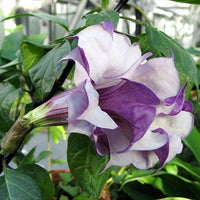 Datura Double Metel Purple 10 seeds, Devil's Trumpet, Horn of Plenty Jimson Weed