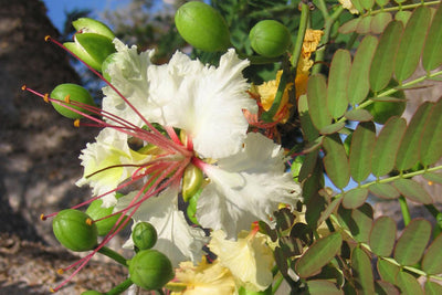 Delonix Decaryi Tree 5 Seeds, White Poinciana