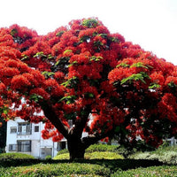 Delonix Regia Tree 10/25/75/200 Seeds, Red Royal Flowering Poinciana