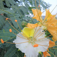 Delonix Elata Tree 5 Seeds, White Gulmohar Poinciana Bonsai