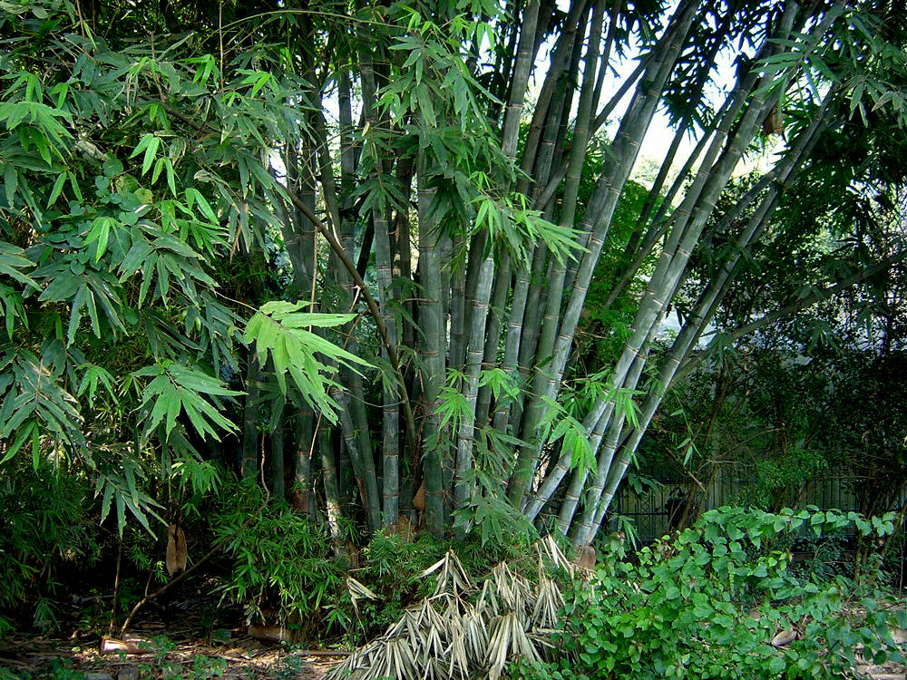 Dendrocalamus Strictus 10 Seeds, Male Calcutta Clumping Bamboo