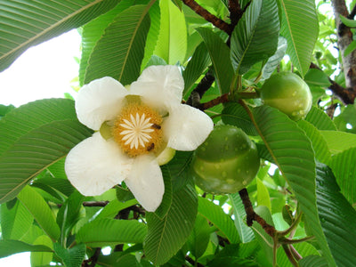 Dillenia Indica 15 Seeds, Elephant Apple Edible Fruit Shrub Tree