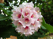 Dombeya Burgessiae African Small Tree 8 Seeds, The Pink Wild Pear or Apple Blossom