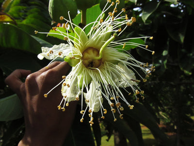 Duabanga Grandiflora Edible Shade Tree 100+ Seeds, Rare Tropical Large Flowers