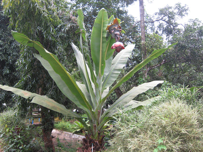 Ensete Superbum 5 Seeds, Rare Hardy Rock Or Cliff Banana