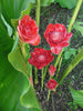 Etlingera Elatior 15 Seeds, Ornamental Tropical PINK Edible Torch Ginger