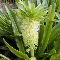 Eucomis Autumnalis 8 Seeds, South African Pineapple Lily