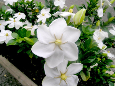 Gardenia Thunbergia 10 Seeds, Fragrant Wild Evergreen Tree