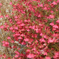 Hermannia Stricta 8 Seeds, South African Desert Rose Perennial
