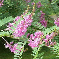 Indigofera pseudo- tinctoria 20-500 Seeds, Chinese True Indigo Shrub Ground Cover
