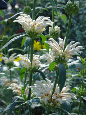 Leonotis Leonurus Alba 10 Seeds, Rare White Lion's Tail / Ear Or Wild Dagga