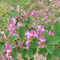 Lespedeza Bicolor 50-1500 Seeds Hardy Bush Clover Shrub