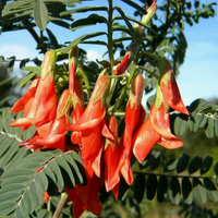 Lessertia Frutescens, African Sutherlandia Shrub 7 Seeds, The Cancer Bush