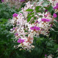 Lysidice Rhodostegia Tree 5/50 seeds, Very Rare Fragrant Garden Miriam Flower