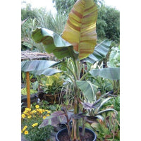Musa Sikkimensis Red Tiger 10 Seeds, Cold Hardy Darjeeling Banana Tree