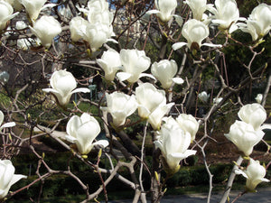 Magnolia Denudata 10 Seeds, Fragrant Flowering Tree Shrub Yulan Jade Lily