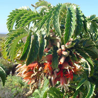 Melianthus Comosus Bush 8 Seeds, Tufted Honey Flower Shrub