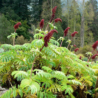 Melianthus Major Shrub 5 Seeds, Exotic Fragrant Giant Honey Bush